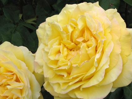 floweryellow1.jpg