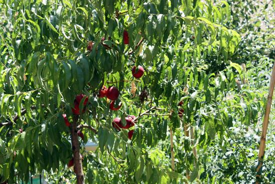 necatarine-tree