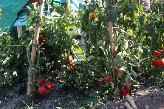 tomatoes-corfu