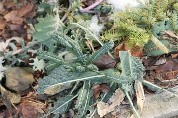 kale-compost
