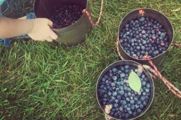 Blueberry-picking-near-chicago